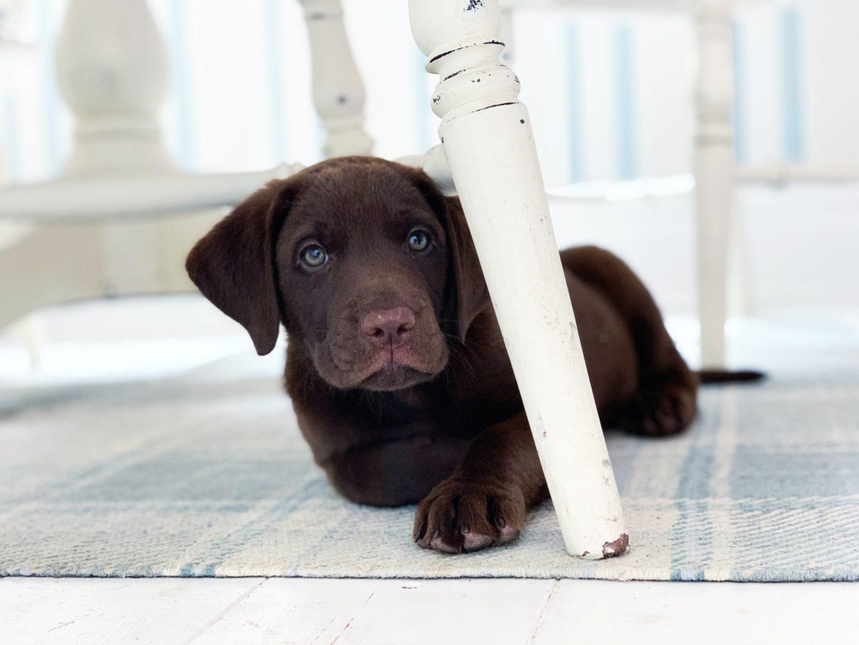Say hello to Bobby - Our Labrador Retriever Puppy